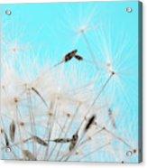 Close-up Dandelion Seeds Against Blue Acrylic Print