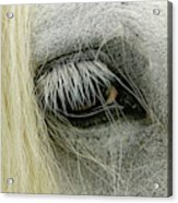 Close-up Details Of Gypsy Vanner Horse Acrylic Print