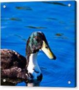 Close Up Duck Acrylic Print