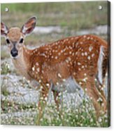 Close Up Key Deer Acrylic Print