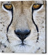 Close-up Of A Cheetah Acinonyx Jubatus Acrylic Print