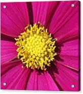 Close Up Of A Cosmos Flower Acrylic Print