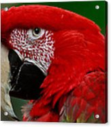 Close Up Of A Gorgeous  Green Winged Macaw Parrot. Acrylic Print