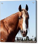 Close Up Of A Horse Acrylic Print