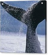 Close Up Of A Humpback Whale Fluke In Acrylic Print
