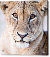 Close-up Of A Lioness Panthera Leo Acrylic Print