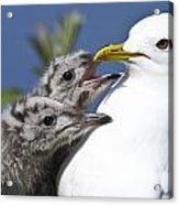 Close Up Of A Mew Gull With Two Hungry Acrylic Print