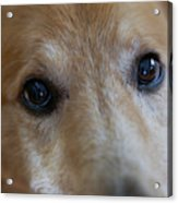Close Up Of A Pet Dogs Eyes Acrylic Print