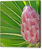 Close Up Of A Protea In Bud Acrylic Print