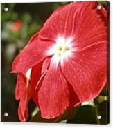 Close Up Of A Red Busy Lizzie Flower Acrylic Print