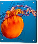 Close Up Of A Sea Nettle Jellyfis Acrylic Print
