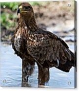 Close-up Of A Tawny Eagle Aquila Rapax Acrylic Print