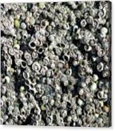 Close-up Of Acorn Barnacles Acrylic Print