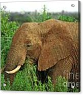 Close Up Of African Elephant Acrylic Print