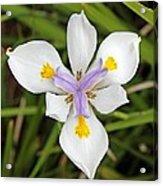 Close Up Of An Iris Acrylic Print