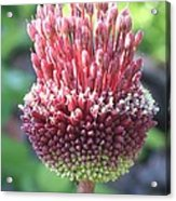 Close Up Of An Ornamental Onion Or Drumstick Allium  Acrylic Print