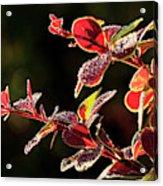Close Up Of Berberis  Quebec, Canada Acrylic Print