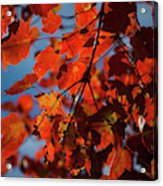 Close Up Of Bright Red Leaves With Blue Acrylic Print