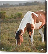 Close Up Of Brown And White New Forest Pony Horse At Sunrise In  Acrylic Print