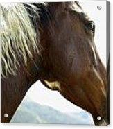 Close-up Of Brown Pinto Pony With White Acrylic Print