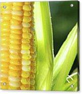 Close-up Of Corn An Ear Of Corn  Acrylic Print by Sandra Cunningham
