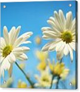Close-up Of Daisies Against A Blue Acrylic Print
