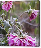 Close-up Of Flowers Covered By Frost Acrylic Print