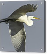 Close Up Of Great Egret In Flight Acrylic Print