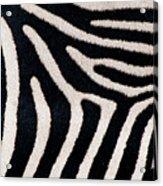 Close-up Of Greveys Zebra Stripes Acrylic Print
