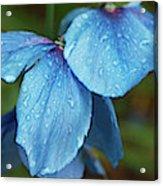 Close-up Of Himalayan Poppy Flowers Acrylic Print
