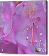 Close Up Of Inside Of Rhododendron Flower  Acrylic Print