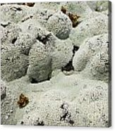 Close Up Of Lichens Commonly Called Rock Moss Acrylic Print