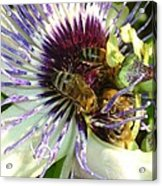 Close Up Of Passion Flower With Honey Bee  Acrylic Print