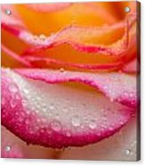 Close Up Of Pink Rose Petails Covered Dew Acrylic Print