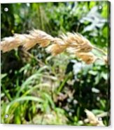 Close-up Of Prairie Grass Acrylic Print