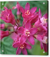 Close-up Of Red Flowering Currant Acrylic Print