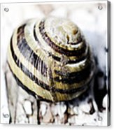 Close Up Of Sea Shell Acrylic Print by Tommytechno Sweden