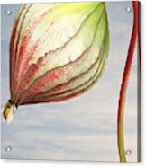 Close up of triffid flower Acrylic Print