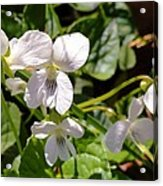 Close-up Of White Violets  Acrylic Print
