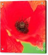 Close Up Poppies Acrylic Print