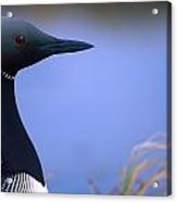Close Up Portrait Of An Arctic Loon Acrylic Print