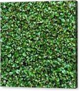 Close-up Privet Hedge Acrylic Print