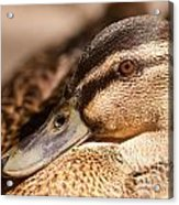 Close Up Shot Of Female Mallard Duck Acrylic Print