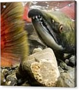 Close Up Underwater View Of Sockeye Red Acrylic Print
