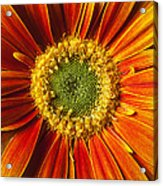 Close Up Yellow Orange Mum Acrylic Print