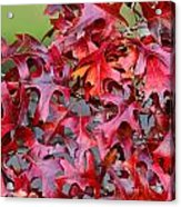 Close View Red Oak Leaves Acrylic Print
