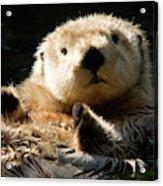 Closeup Of A Captive Sea Otter Making Acrylic Print