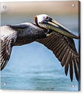 Closeup Of A Flying Brown Pelican Acrylic Print