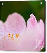 Closeup Of A Wet Pink Rose   Acrylic Print