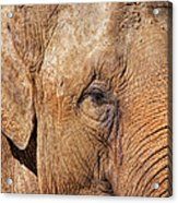 Closeup Of An Elephant Acrylic Print